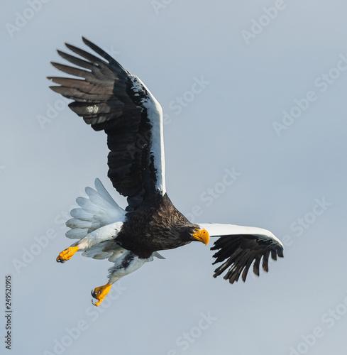 Poster Aigle Adult Steller's sea eagle in flight. Scientific name: Haliaeetus pelagicus. Sky background.