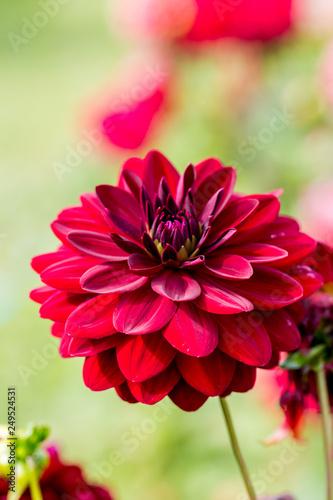 Poster de jardin Dahlia Red dahlia flower - Close up image with dahlia flower