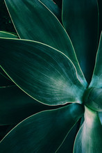 Agave Leaves Close Up Shot In ...