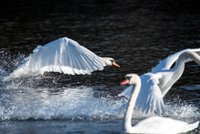 A Group Of Mute Swans Focusing...