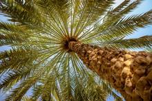 Palm Trees Canopy In Al Ain Oa...