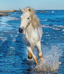 Fototapeta Optyczne powiększenie White Camargue horse galloping on blue water of the sea.