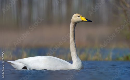 Fotografie, Obraz  Close shot of adult Whooper swan swimming in saturated colored water of spring p