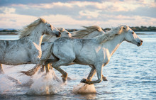 White Camargue Horses Gallopin...