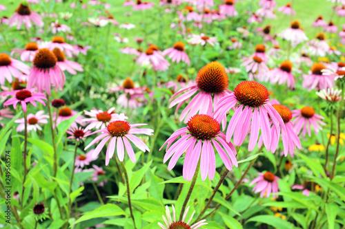 Fotografija  Black-eyed Susan flowers