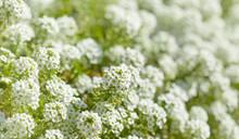 White Flowers Of Lobularia Maritima