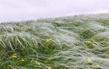 Feather Grass Field