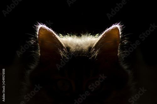 Fotografia, Obraz  cat ears,cat in the dark