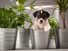 Funny Puppy Dog Jack Russell Terrier, Studio Composition