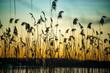 canvas print picture - Romantischer Sonnenuntergang an der Havel in Berlin mit Reet im Vordergrund