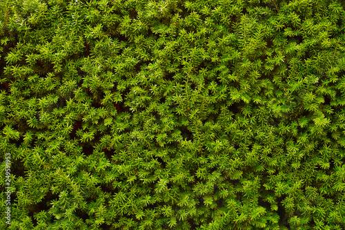 Obraz na plátně Hedge