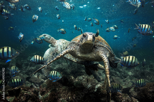 Keuken foto achterwand Schildpad Green sea turtle and sergeant major fish, Galapagos Islands