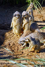 View Of A Group Of Meerkats (s...