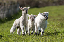 Three Cute Lambs In A Field Of Grass Looking Towards The Camera