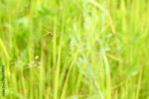 Fotografía  Peaceful summer landscape of the field with green grass and dragonfly flying in