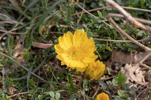 Photo Amur adonis flowers of Urban Agricultural Park in Adachi city, Tokyo, Japan