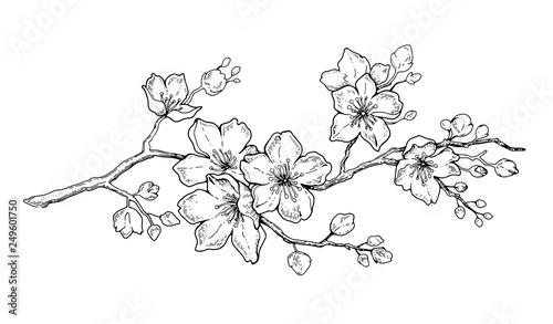 Photo  Cherry flower blossom, botanical art