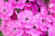 canvas print picture - Beautiful chinese carnations (Dianthus chinensis) with details