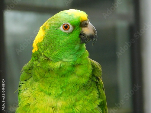 Garden Poster Parrot Yellow Nape Amazon