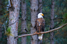 Beautiful Bald Eagle, Haliaeet...