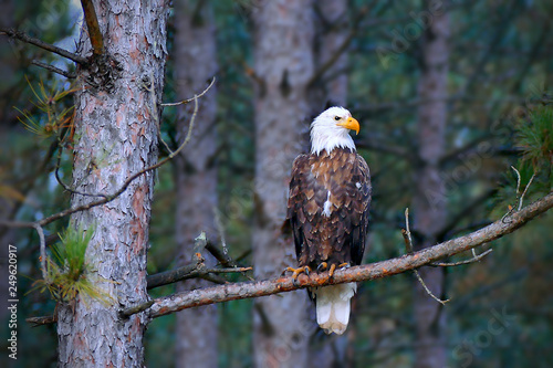 Beautiful bald eagle, Haliaeetus leucocephalus, perched on a Norway Pine tree branch in a Minnesota forest Wallpaper Mural