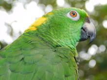 Yellow Nape Amazon