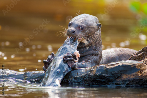 Photo  Giant otter eating fish at Pantanal of Mato Grosso, Brazil