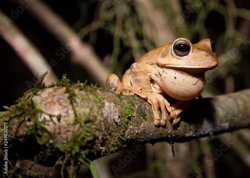 Photo An exemplar of smith frog (Hypsiboas faber) during the night at the brazilian ce