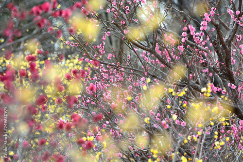 wczesna-wiosna-plum-blossom-with-yellow-bokeh-by-lowbye