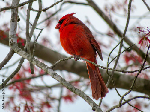 cardinal in a tree Canvas Print