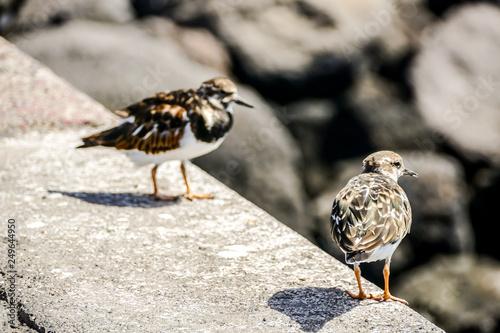 Fotografie, Obraz  Kentish Plover Water Bird