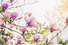 Background Of Blooming Magnolias. Flowers. Selective Focus.