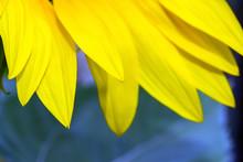 Golden Petals On A Van Gogh Sunflower