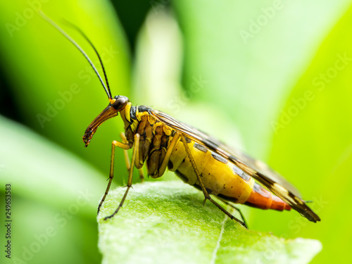 Fotografía  Female Scorpion Fly Mecoptera Panorpa Communis Insect on Green Leaf