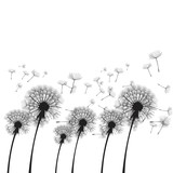 Fototapeta Dmuchawce - Vector illustration dandelion time. Two dandelions blowing in the wind. The wind inflates a dandelion