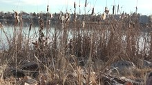 Cattails Over Lake In Low Vantage Point