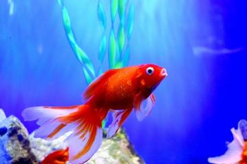 Złota rybka (Carassius auratus) to ryba słodkowodna z rodziny karpiowatych z rzędu Cypriniformes. Jest to jedna z najczęściej hodowanych ryb akwariowych