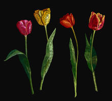Embroidery Tulips Collection, Hand Drawn Elements. Fashionable Template For Design Of Clothes, T-shirt Design, Tapestry
