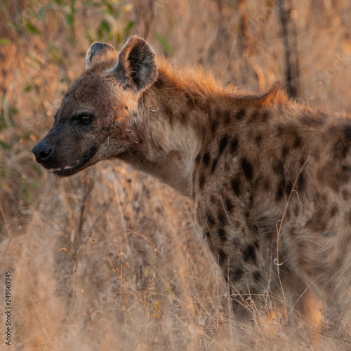 Foto op Aluminium Hyena Spotted Hyena in the Kruger National Park, South Africa