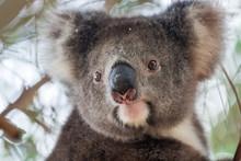 Portrait Cute Australian Koala Bear Sitting In An Eucalyptus Tree And Looking With Curiosity. Kangaroo Island