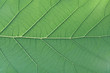 Rich green rim light leaf texture see through symmetry vein structure, beautiful nature texture background concept