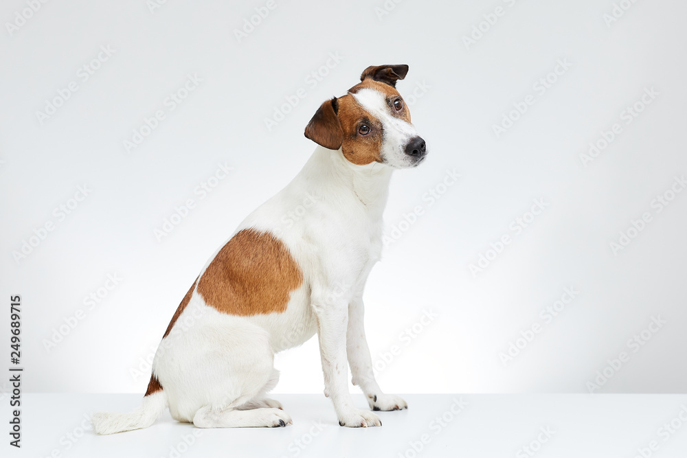 Fototapety, obrazy: Cute Jack Russell Terrier sits sideways on the white table with head turned to the side on the white background
