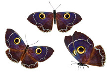 Set Of Owl-eyed Butterflies. I...