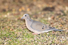 Mourning Dove Foraging On Ground For Seeds.
