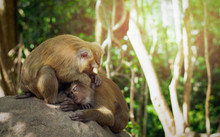Female Monkey Looking After Male Monkey Under Shade Of Trees.