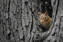 Chipmunk Peeking Out Of Hole I...