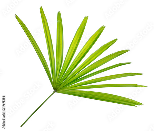 Fotografija  ady palm leaf, bamboo palm or ground isolated on white background