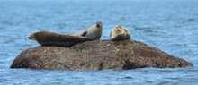 Three Grey Seals On Rock In Water
