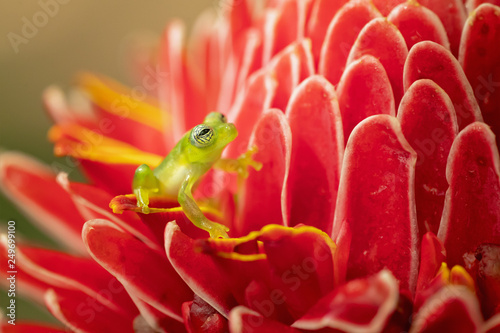 Foto op Canvas Kikker Spiny Cochran frog (Teratohyla spinosa) found in the Pacific lowlands of northern and central Ecuador and western Colombia, northward on the Pacific slopes Panama and Costa Rica