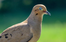 Mourning Dove With Eyes Closed.